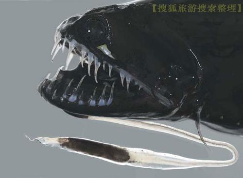 海平面700米以下的奇特生物(8P)[附圖]