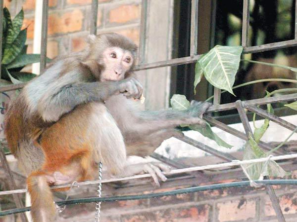这个小区里它最亲近的人是张婆婆,因为她每天都会给它东西吃 记者 庄小龙摄   近日,广州市白云区沙太路白云配件公司宿舍的不速之客一只名为BB的流浪小猴的去留问题成了所有住户议论的热点。尽管小猴异常聪明、可爱,但它的调皮还是引起了一些住户的反感。曾经有住户为了将小猴送走,在香蕉里掺杂安眠药喂食小猴,但每次都被小猴化险为夷。流浪小猴的去留为何会牵动众人的心?BB猴是否还能继续与居民为邻?11月30日,记者来到该宿舍区,和小猴来了一次亲密接触。   流浪猴初来乍到惹人怜   中午时分,记者在住户葛姨
