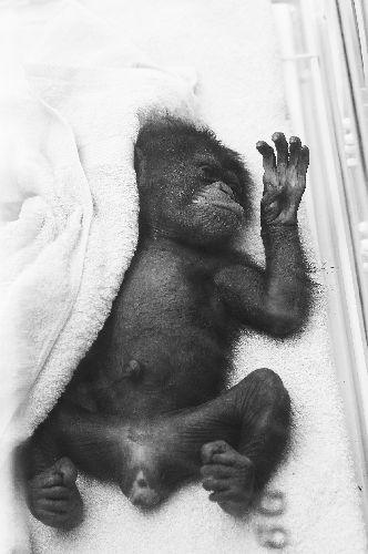 在合肥野生动物园黑猩猩园