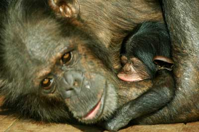 合肥大猩猩出逃