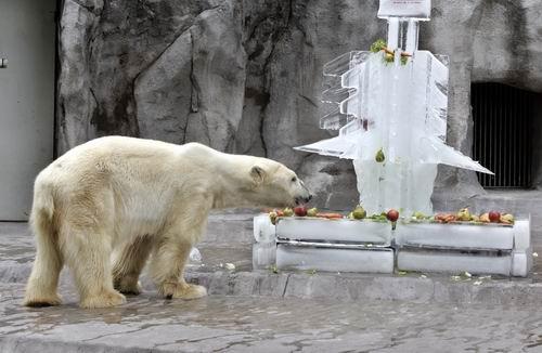 12月8日,在阿根廷的一个365棋牌娱乐城_365棋牌唯一官网活动_365棋牌电脑下载手机版下载园内,一只北极熊正在吃点缀在一棵冰制