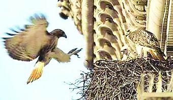 纽约一大厦上鹰巢被拆起争议 老鹰无家可归(图)
