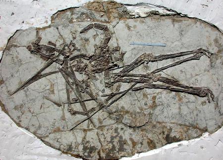 图文:我国发现飞行的爬行动物新类群化石(2)