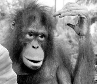 广州动物园将斥巨资给黑猩猩配种.时报记者巢晓摄