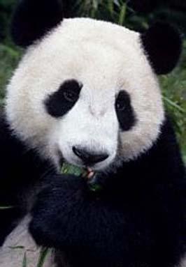 国宝大熊猫:活化石的冰火两重天