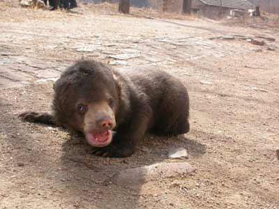 """出生在八达岭野生动物世界,左后腿先天残疾的小马来熊""""康康"""",昨天经过"""
