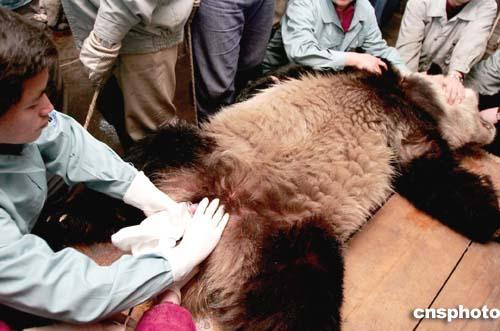北京动物园为雌性大熊猫授精(图)