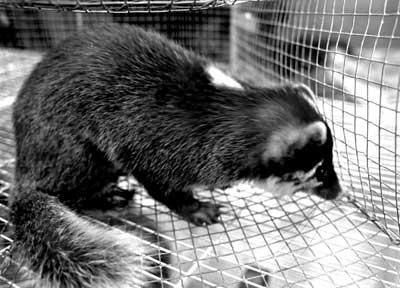 锁定8类哺乳类动物--sars毒源是如何发现的(图)
