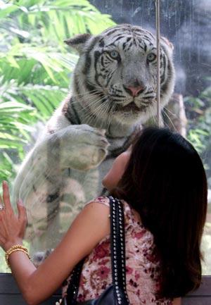 泰国动物园用四只云豹换回6只白虎