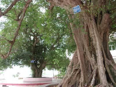 广东雷州挂牌保护上百年的古树名木