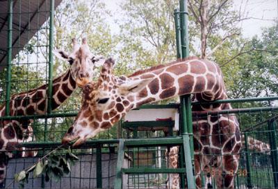 动物园的故事四:长颈鹿馆一片繁忙景象