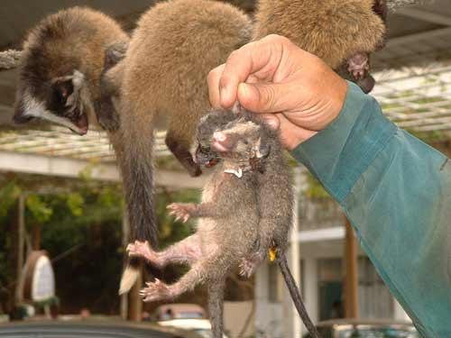 人类sars由动物传染 与果子狸99%以上同源性