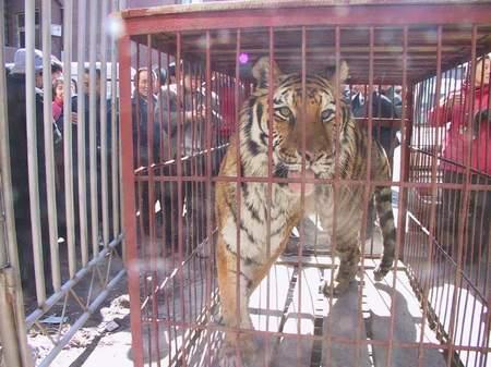 被装到笼中的老虎