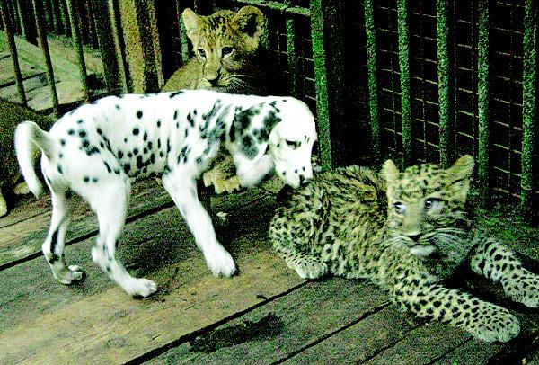 青岛动物园将把出生两个月的金钱豹