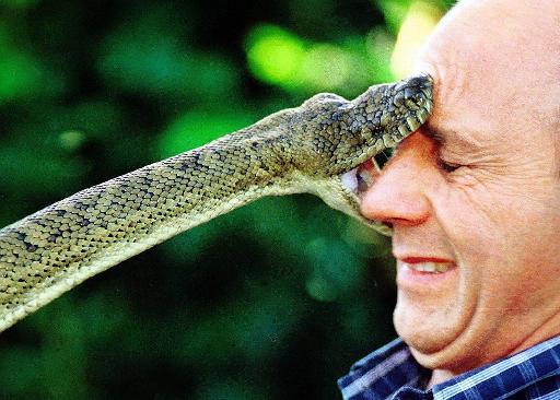 """图文:澳洲一名男子与14斤大蟒蛇近距离""""亲吻"""""""