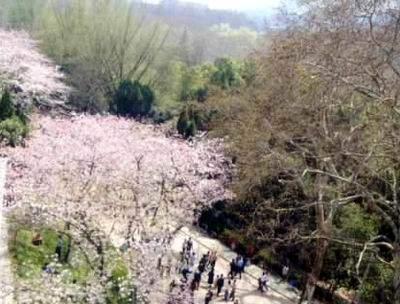 组图:武汉东湖之滨武汉大学珞珈山上樱花盛开