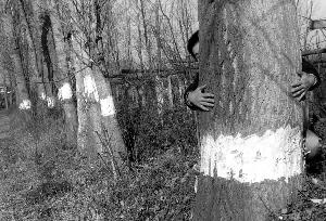 一人抱不住的大树也难逃剥皮厄运-陕西周至县村干部私砍树木 上千棵
