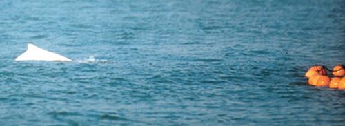 跃起捕食中华白海豚跃起捕食