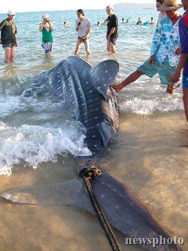 鲨鱼被绑住尾巴拉上岸