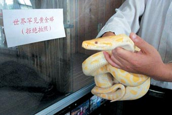 图文:罕见旅顺蛇馆黄金蟒