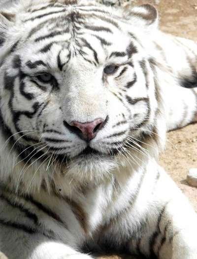 大的森林野生动物园山东省济南市野生动物世界开放两年来陆续投放白虎