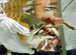 奇趋生命--在自己嘴里孵化幼鱼的龙鱼