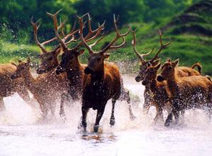 麋鹿联系国家命运 杨国美镜头展现百年风姿