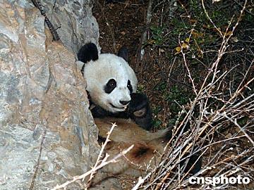 组图:四川藏区四姑娘山景区首次发现野生大熊猫
